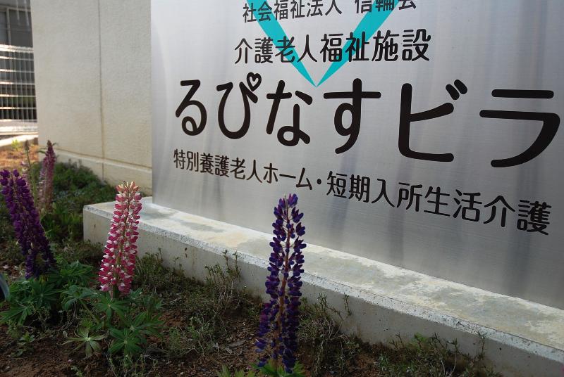 施設内に咲く「ルピナスの花」